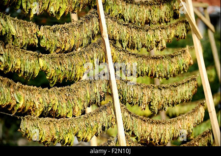 Leaves of tobacco dried by the classic method in the sun - Stock Photo