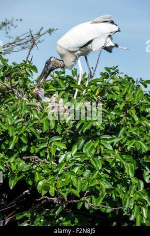Florida FL South Delray Beach Wakodahatchee Wetlands nature preserve wood stork Mycteria americana nest young fledglings - Stock Photo