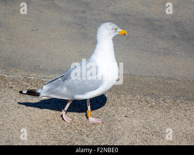 A herring gull Larus argentatus with BTO leg rings that show it to be about 12 years old at Whitby North Yorkshire - Stock Photo