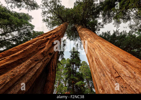 The famous big sequoia trees are standing in Sequoia National Park, Giant village area , big famous sequoia trees - Stock Photo
