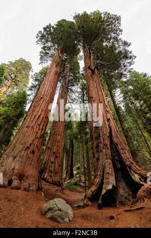 Giant Sequoia Trees in Sequoia National Park - Stock Photo
