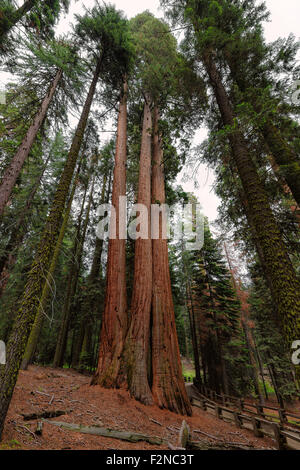 Giant Sequoias Forest. Sequoia National Forest in California Sierra Nevada Mountains, United States. - Stock Photo