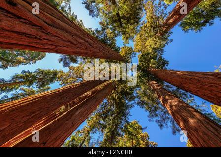 Giant trees closeup in Sequoia National Park, California - Stock Photo