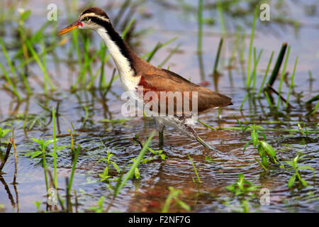 Wattled jacana (Jacana jacana), juvenile, foraging in the water, Pantanal, Mato Grosso, Brazil - Stock Photo