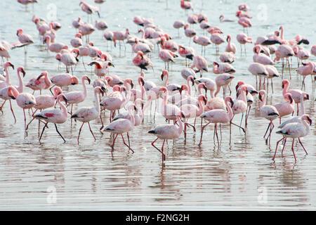 Lesser Flamingos (Phoeniconaias minor) in the water, Walvis Bay, Namibia - Stock Photo