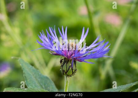 Honeybee (Apis mellifera) on perennial cornflower (Centaurea montana), Chiemgau Alps, Upper Bavaria, Bavaria, Germany - Stock Photo