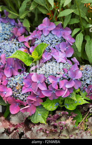 Hydrangea Macrophylla 'Kardinal violet' - Stock Photo