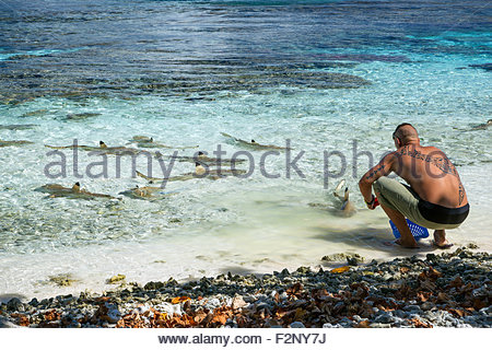 Fakarava (French Polynesia) : Polynesian sharing the remains of his meal with blacktip reef sharks (Carcharhinus - Stock Photo