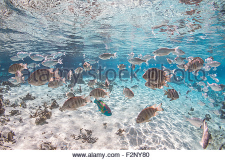Marine life in the lagoon - Tikehau - French Polynesia - Stock Photo