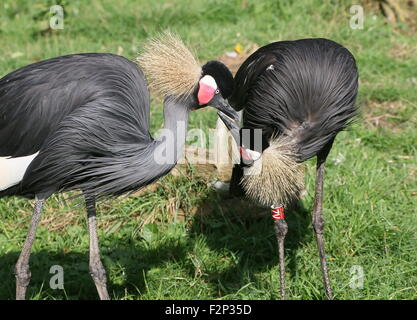 Pair of  African Black Crowned Cranes (Balearica pavonina) preening each other, a male and a female - Stock Photo