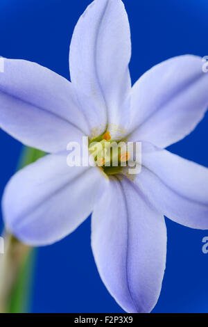 Ipheion  'Rolf Fiedler'  AGM  Spring starflower  March - Stock Photo