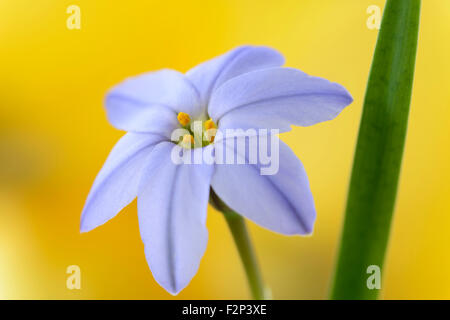 Ipheion  'Rolf Fiedler'  AGM  Spring starflower  April - Stock Photo