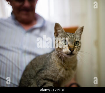 Portrait of tabby cat sitting on the lap of senior man - Stock Photo