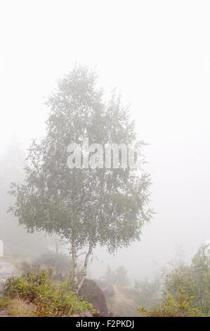 Silver birch, Betula pendula, near Laparan lake in a foggy day. French Pyrenees. Ariege. France. - Stock Photo