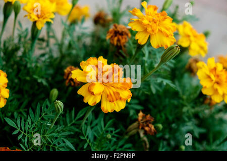 Yellow and orange French Marigolds, Tagetes patula, in a flower bed in Oklahoma, USA. Often used as a spice in cuisine. - Stock Photo