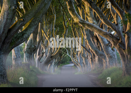 Misty dawn at 18th Century Beech Tree lined road known as the Dark Hedges near Stanocum, County Antrim, Northern - Stock Photo
