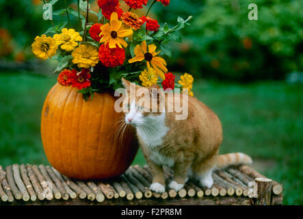 Fall harvest decoration on a bench with an orange tabby cat beside a pumpkin vase filled with late summer flowers - Stock Photo