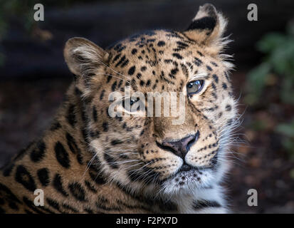 Male Amur leopard gazing towards camera (face shot) - Stock Photo