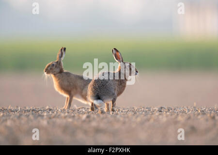 Attentive Brown Hares / European Hares ( Lepus europaeus ) sitting in typical agricultural surrounding, low point - Stock Photo