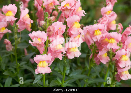 Pink Antirrhinum majus. Common Snapdragon in a flower border. - Stock Photo