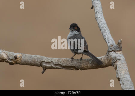Sardinian Warbler in Andalucia - Stock Photo