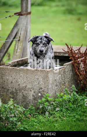 A dog taking a dip in a water trough. - Stock Photo