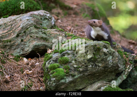 Curious Beech Marten / Stone Marten / Steinmarder ( Martes foina ) sits on rocks on the ground of a natural mixed - Stock Photo