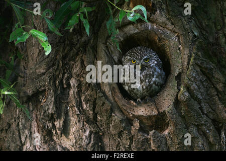 Minervas Owl / Little Owl / Steinkauz ( Athene noctua ) stands in, looking out of its natural tree hollow. - Stock Photo