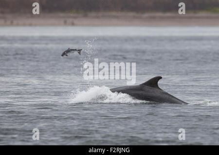 Bottlenose Dolphin hunting in the Moray Firth - Stock Photo