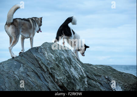 Huskies dogs climbing  rocks aboard St Lawrence River in Les Mechins, Gaspe Peninsula, Quebec, Canada - Stock Photo