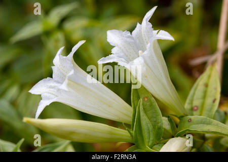 White, early autumn flowers of the perennial willow gentian, Gentiana asclepiadea 'Alba' - Stock Photo