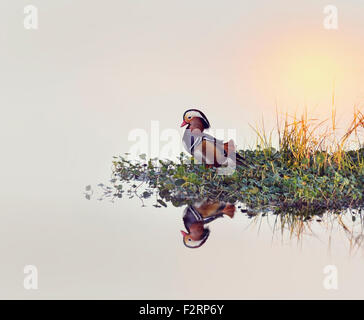 Male Mandarin Duck on a Lake - Stock Photo