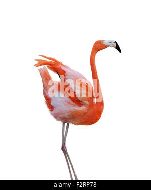 Pink Flamingo Isolated on White Background - Stock Photo