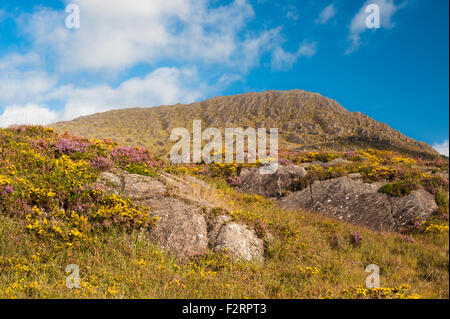 The Caha Mountains, near Glengarriff, Beara, County Cork, with abundant flowering western (dwarf) gorse and heather - Stock Photo