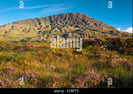 The Caha Mountains, near Glengarriff, Beara, County Cork, with abundant flowering western or dwarf gorse and heather - Stock Photo