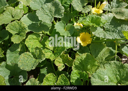 Cucumber mosaic virus, CMV, symptoms on a squash plant, Cucurbita spp., Hampshire, August. - Stock Photo