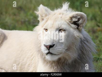 male white lion in Kruger National Park. - Stock Photo