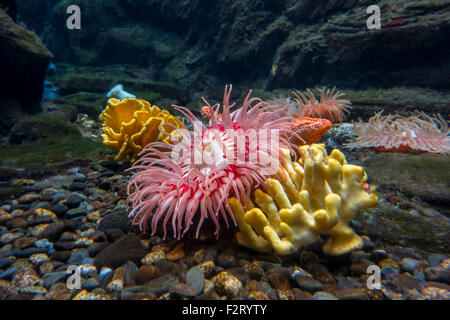 Sea anemones in aquarium at Oceanopolis - ocean discovery park - at Brest, Brittany, France - Stock Photo