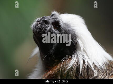Close up of the head of a Colombian Cotton-top tamarin or Pinché tamarin (Saguinus oedipus), seen in profile, looking - Stock Photo