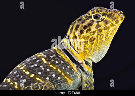 Yellow headed collared Lizard  (Crotaphytus collaris auriceps) - Stock Photo
