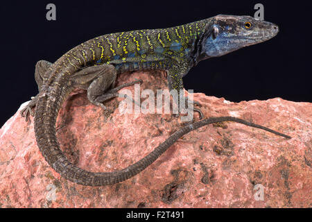 Northern Tenerife lizard ( Gallotia galloti eisentrauti) - Stock Photo
