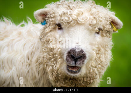 The pretty and rare breed, Greyface Dartmoor sheep (ewe), UK - Stock Photo