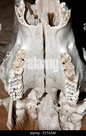 Deer skull and teeth - Stock Photo