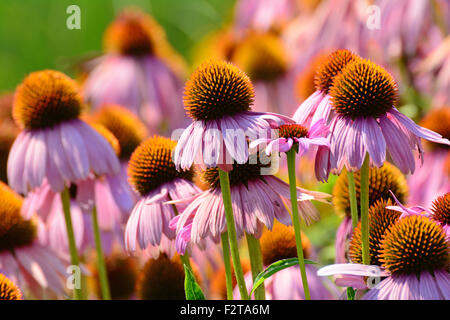 Purple coneflower (Echinacea purpurea) - Stock Photo