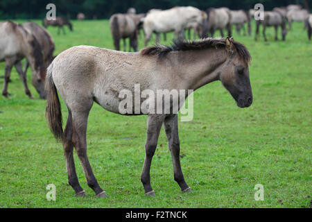 Dülmen ponies, foal resting, Merfelder Bruch, Dülmen, Münsterland, North Rhine-Westphalia, Germany - Stock Photo