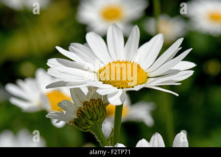 Bright white flowers of ox-eye daisies, Leucanthemum vulgare, with their bright yellow centres on a dunny summer - Stock Photo