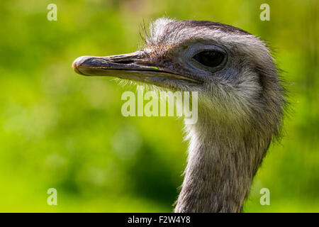 Head and Neck Detail of a Greater Rhea. - Stock Photo
