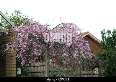 Pink weeping Cherry tree in full bloom - Stock Photo