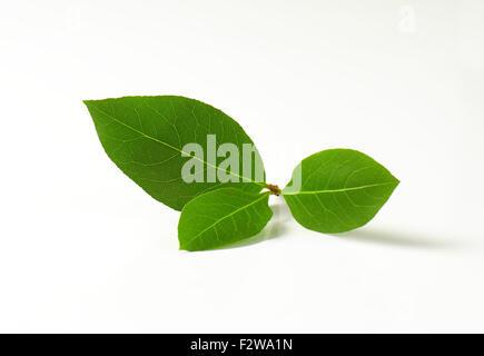 twig of fresh bay leaves on white background - Stock Photo