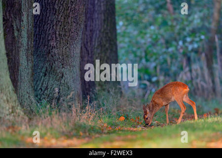 Reh Capreolus capreolus Roe deer - Stock Photo